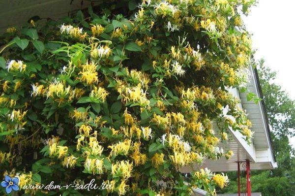 Вьющиеся растения в тени многолетние. многолетние вьющиеся растения для сада