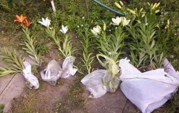 Посадка лилий весной