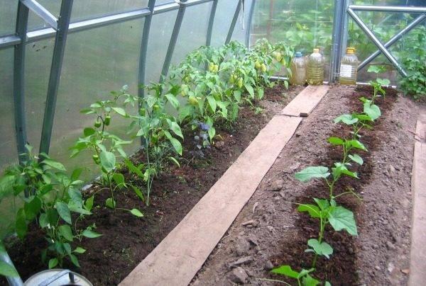 Перец и баклажаны в одной теплице с помидорами и огурцами, с чем сажать лучше?