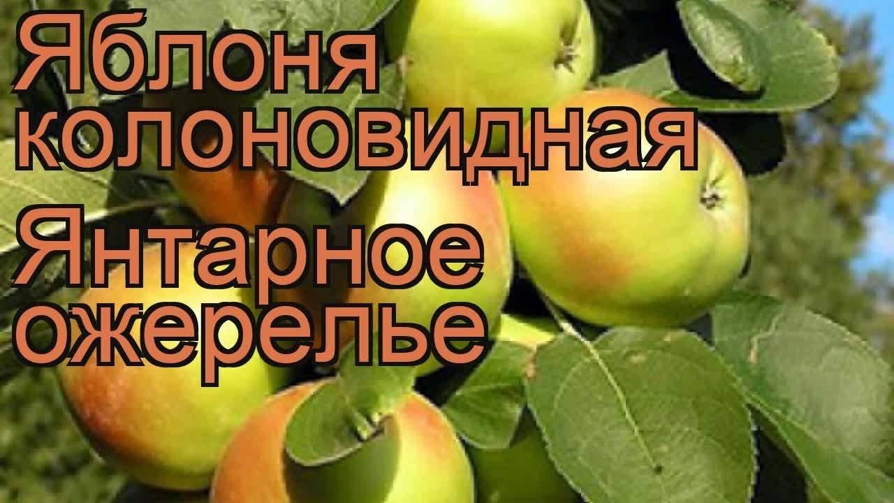 Особенности яблони колоновидной янтарное ожерелье