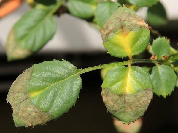 Почему у розы желтеют и опадают листья, что делать