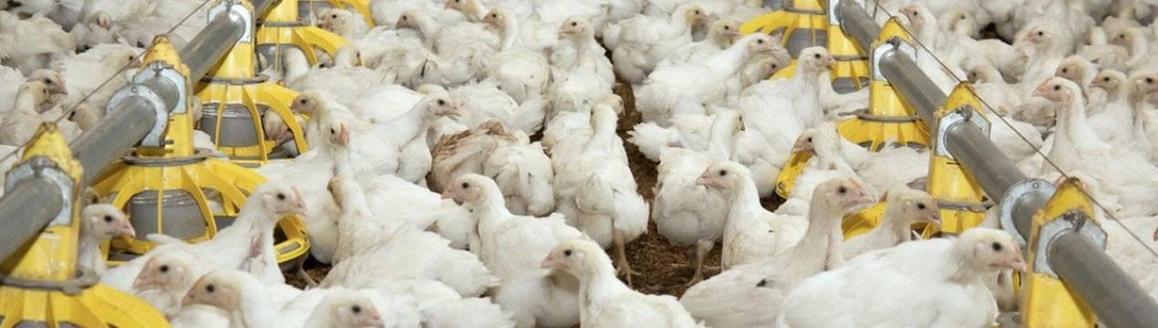 Дрожжевание кормов для кур