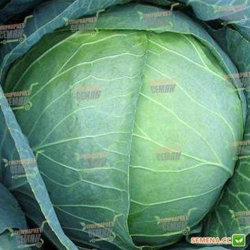 Капуста белокочанная мегатон f1: описание сорта, выращивание рассадным способом, фото