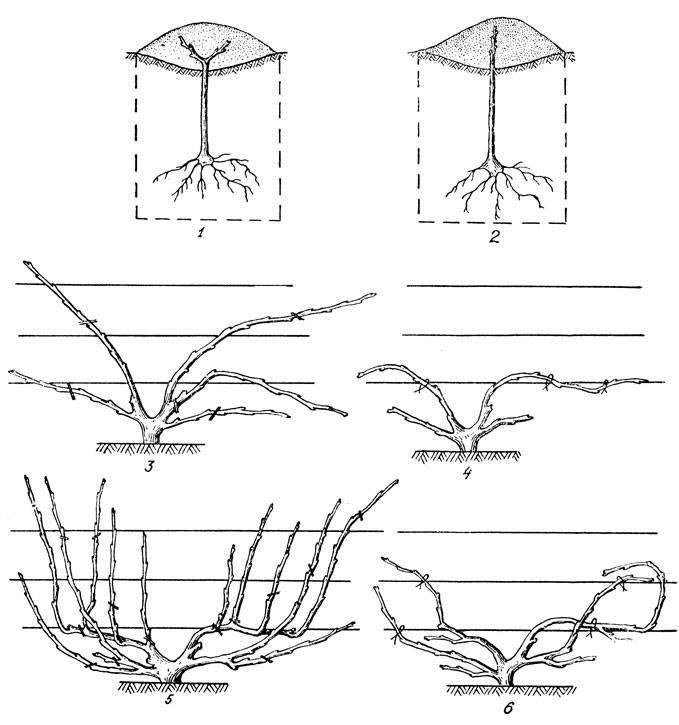 Лучшие способы и схемы формировки винограда