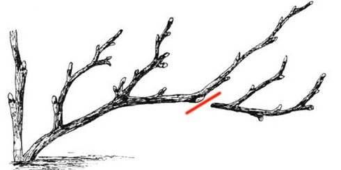Весна: уход за смородиной. обрезка, полив, размножение черенками