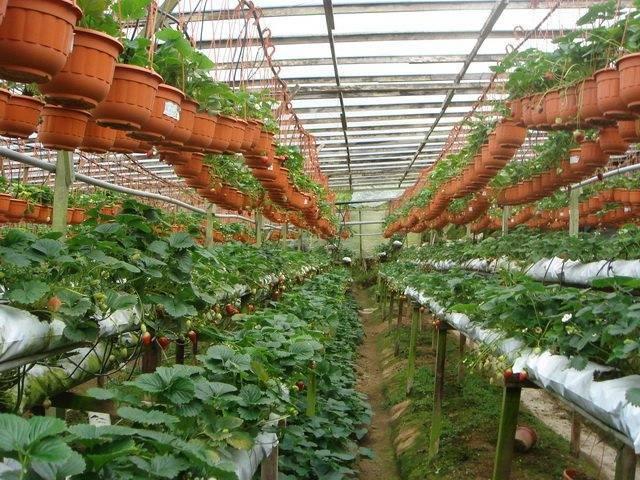 Выращивание ремонтантной клубники в теплице и уход за ней