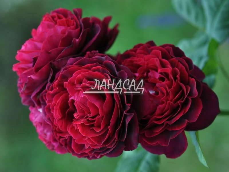О розе rene goscinny: описание и характеристики сорта, уход и выращивание