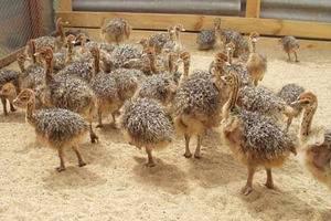 Разведение страуса как бизнес: с чего начать? выгодно это или нет?