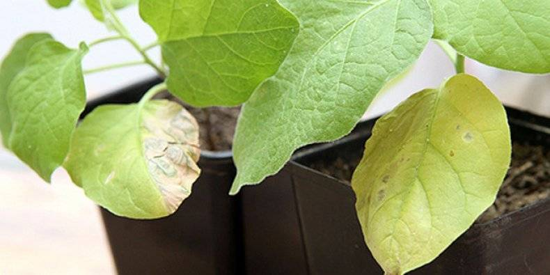 О тле на рассаде баклажанов: как бороться, чем обработать культуру от белокрылки