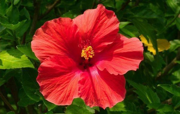 Как зимует гибискус садовый: выращивание и фото в саду