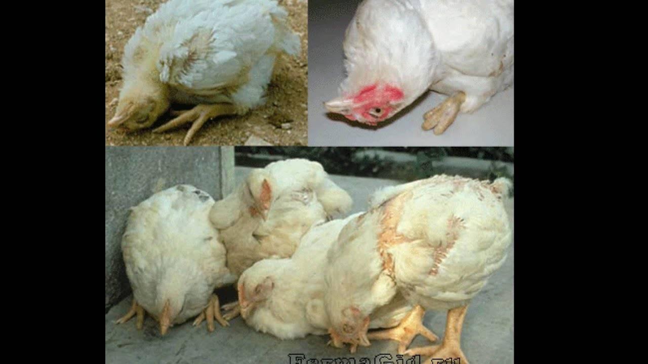 Болезни цыплят: заразные и незаразные заболевания