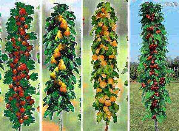 Обзор 10 лучших колоновидных сортов груши для подмосковья