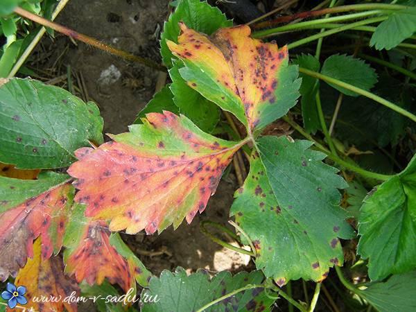 Листья клубники покраснели: причины и методы борьбы - общая информация - 2020