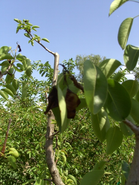 Что делать, если не плодоносит вишня?
