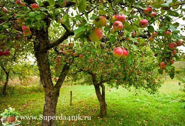 Обработка яблонь мочевиной: особенности