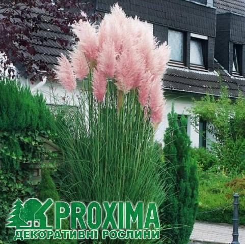 Пампасная трава или кортадерия - африканская красавица в вашем саду