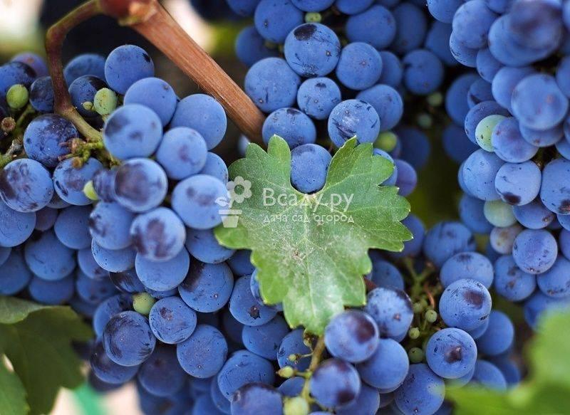 Чем подкормить виноград весной для хорошего урожая?