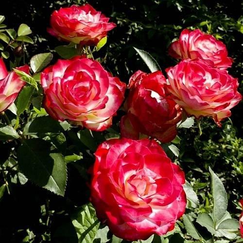 Роза ностальжи (nostalgie)