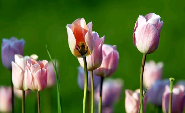 Когда выкапывать тюльпаны после цветения и когда сажать