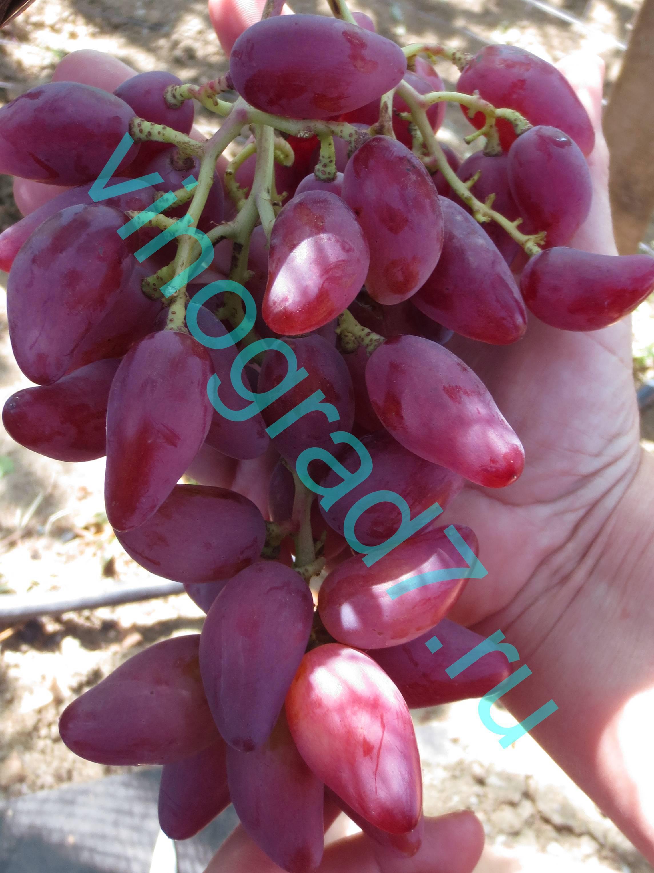 Особенности выращивания винограда дубовский розовый