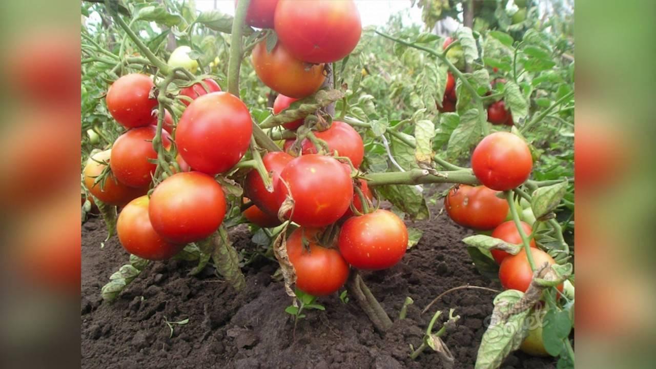 Как правильно прищипывать помидоры: полезные рекомендации
