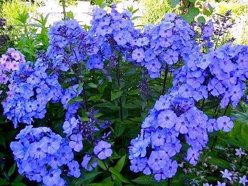 О флоксе метельчатом Блю Парадайз: описание и характеристики, выращивание