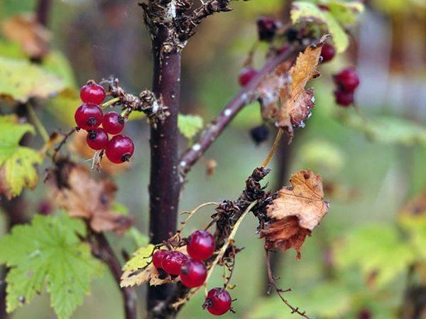 Чем подкормить смородину весной для хорошего урожая