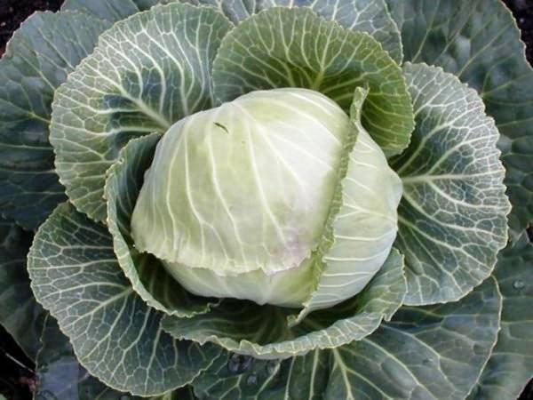 Полив капусты. правильный полив капусты – от рассады до сбора урожая