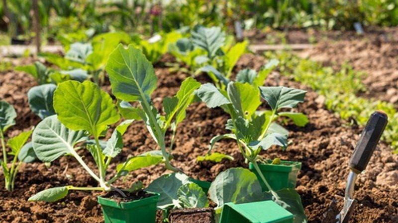 Капуста: прямой посев в грунт