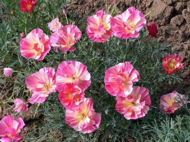 Какие растения посадить и посеять в мае в цветник?
