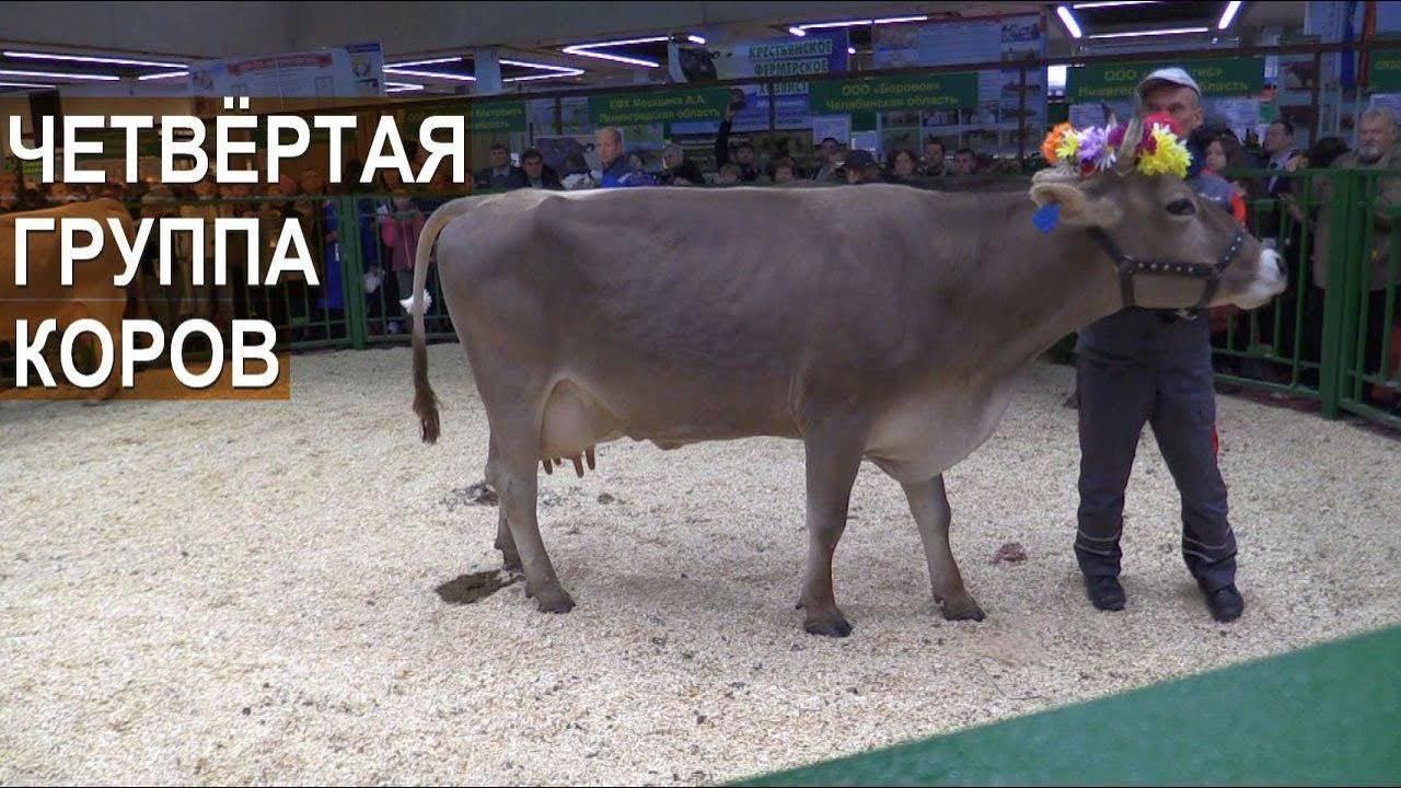 Айрширская порода коров – характеристика крс