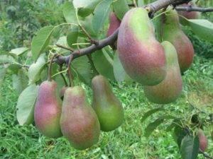 Лучшие карликовые сорта яблонь