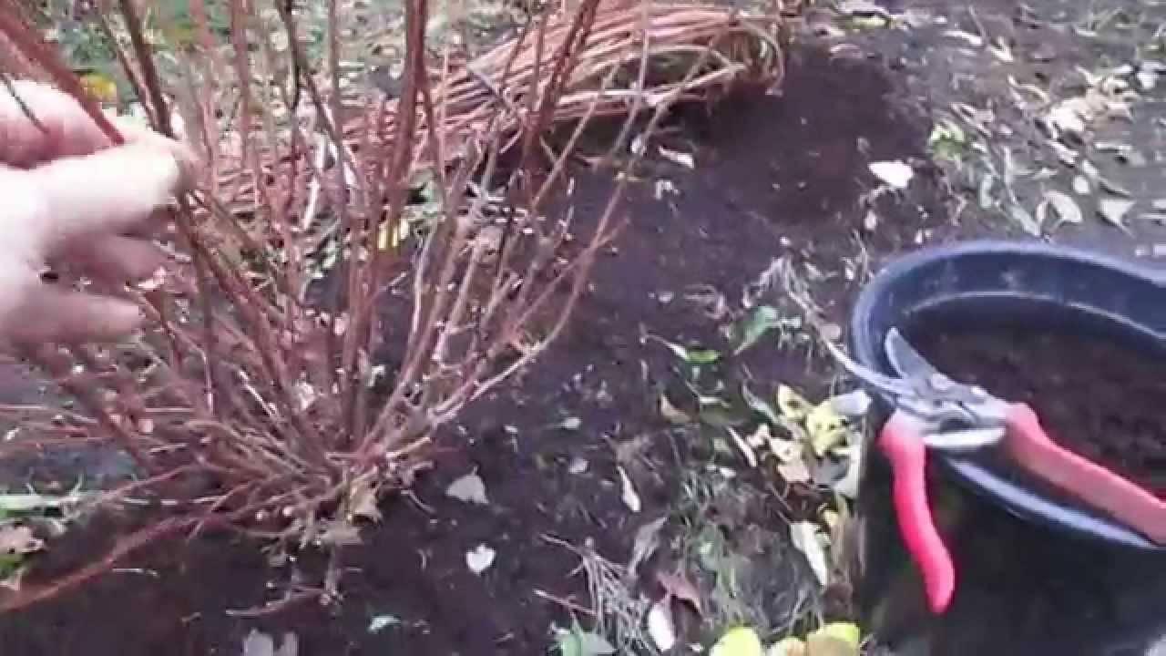 Как подготовить комнатное растение гортензии к зиме?