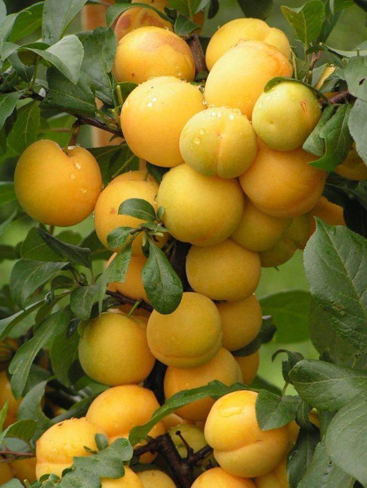 Лучшие сорта желтой сливы (для подмосковья и не только)