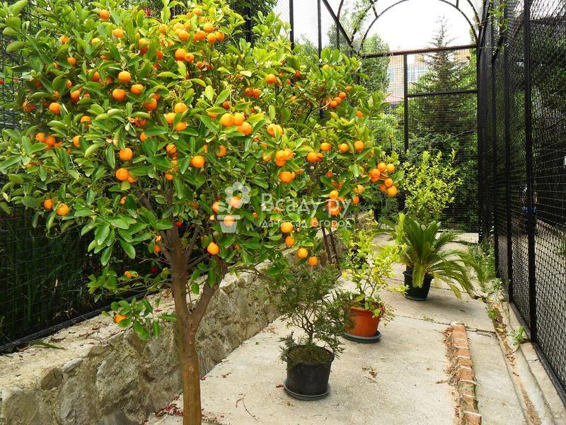 Выращивание и укрытие на зиму абрикоса в подмосковье