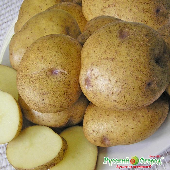 Картофель сорта синеглазка: описание, характеристики, отзывы