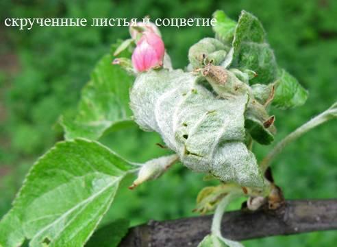 Средства для опрыскивания яблони от тли и листовертки