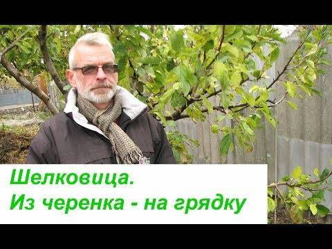 Шелковица белая выращивание и уход. как размножать шелковицу