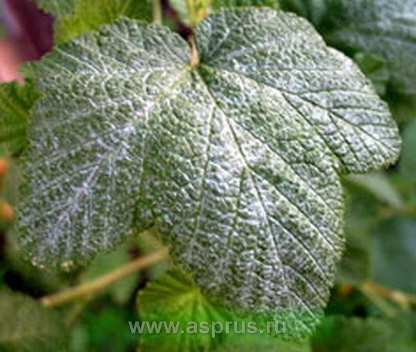 Что делать если на листьях смородины появился белый налет