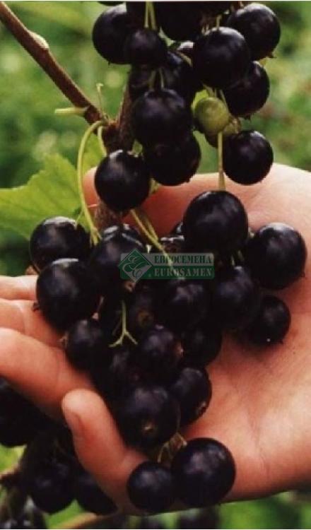 Описание и характеристика черной смородины сорта геркулес, посадка и уход