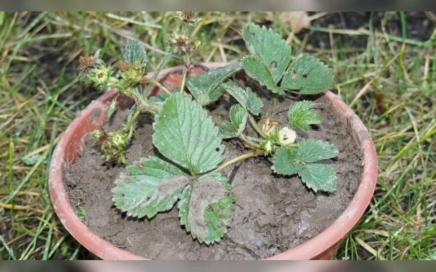 Полевая клубника – как выглядит, отличие от земляники, когда созревает, особенности выращивания