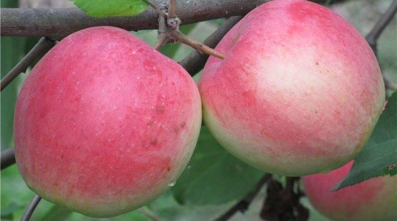 Высокоурожайная яблоня первый салют