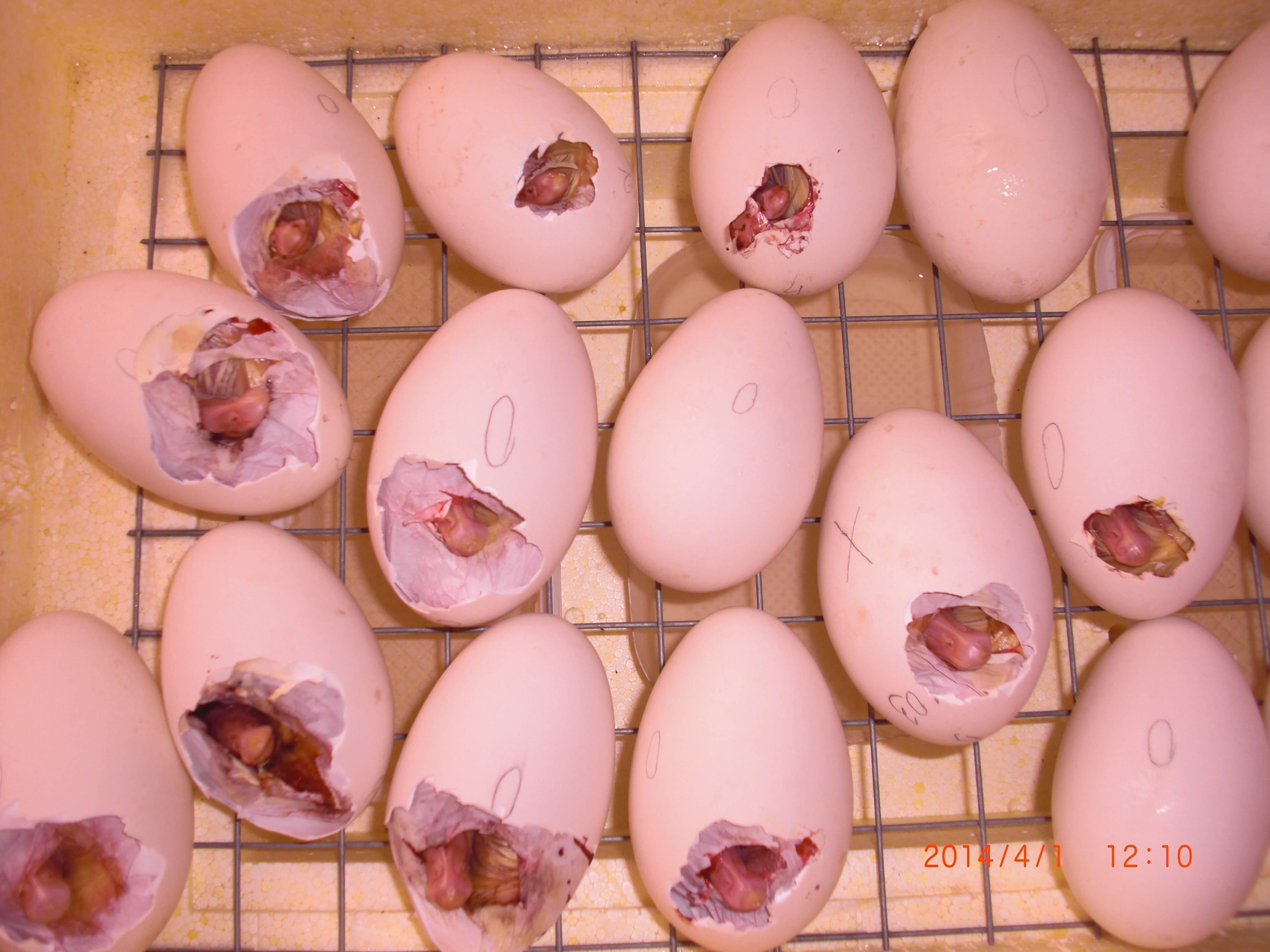 Помогать ли цыплятам вылупляться?