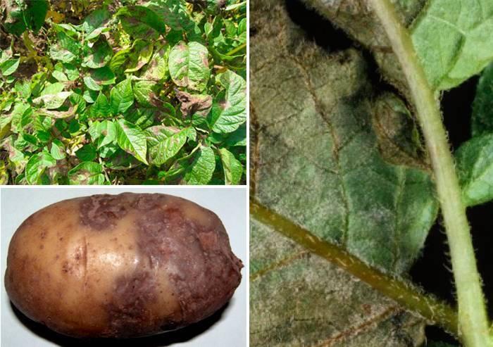 Фитофтора на картофеле: описание, препараты, эффективные методы борьбы