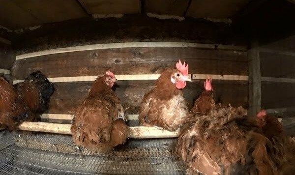 Разведение кур несушек в домашних условиях, на даче и как бизнес: какие породы куриц лучше развести для выращивания на мясо и на яйца