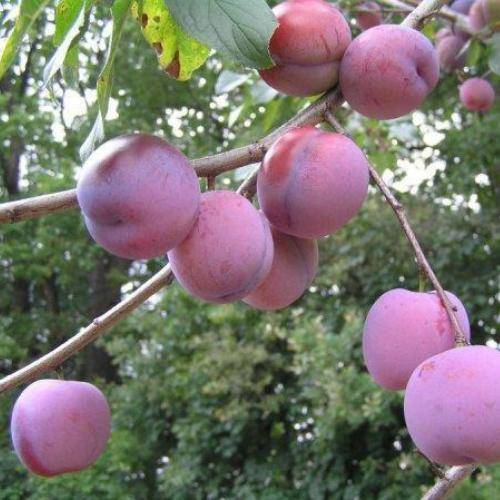 Слива заречная ранняя—вкусный раннеспелый сорт для средней полосы