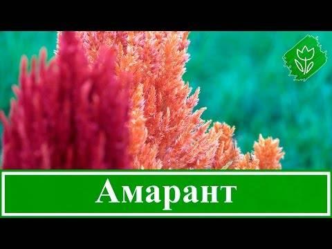 Растение амарант – как правильно сажать и осуществлять уход?
