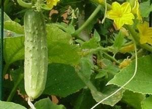 Почему желтеют завязи огурцов в теплице и открытом грунте: болезни и их лечения