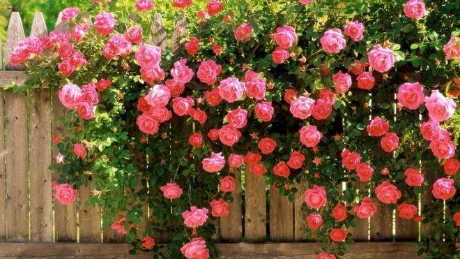 Чем подкормить розы осенью