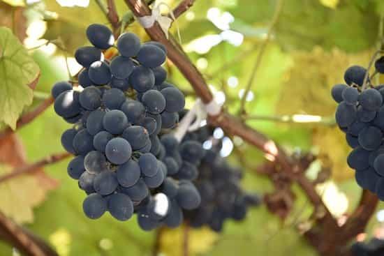 Обработка винограда от болезней и вредителей осенью перед укрытием: железный купорос и другие средства